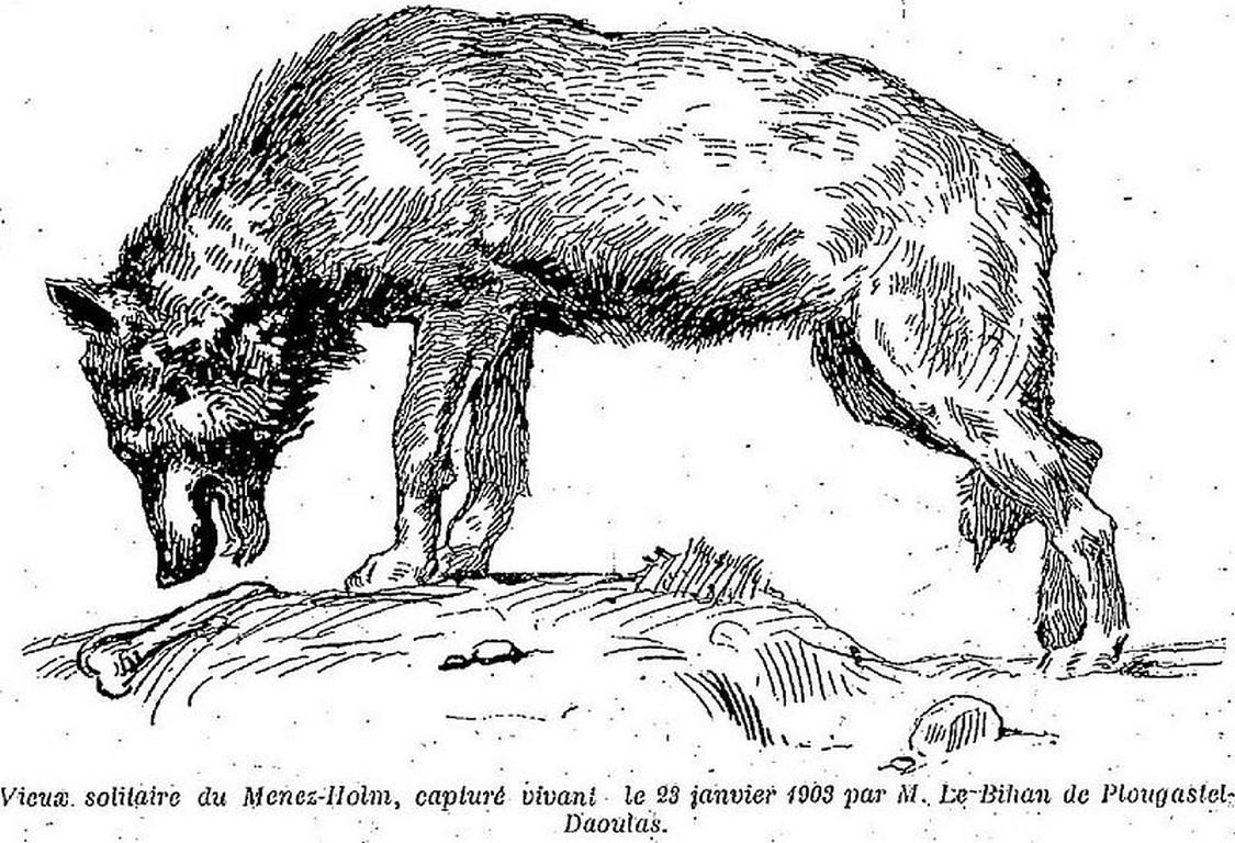 1903 Loup Menez-Hom (Copier)