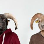 Le mouton d'Ouessant nous a pris la tête
