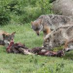 Loups Photos Béatrice Dopita