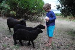 Moutons d'Ouessant à Creizic 2