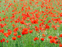 Coquelicots photp RP Bolan